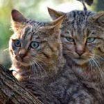 gatti tigrati