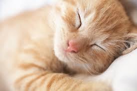 """alt=""""gatto rosso che dorme"""""""