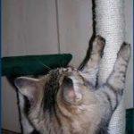 come abituare il gatto al tiragraffi