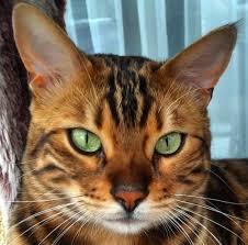"""alt=""""gatto rosso tigrato"""""""