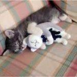 gatto sterilizzato