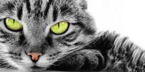 gatto tigrato bianco