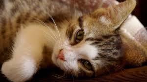 gatto che vuole coccole