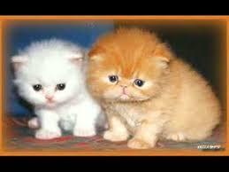 caratteristiche fisiche e comportamentali dei gatti