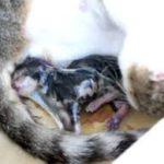 gravidanza del gatto