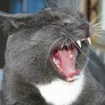 """alt=""""quanti denti ha un gatto"""""""