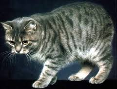 Caratteristiche Fisiche E Comportamentali Dei Gatti Ioconfidocom