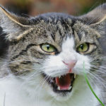 la rabbia nel gatto