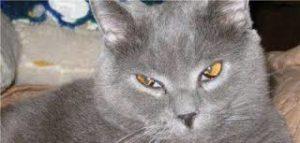 la terza palpebra nei gatti