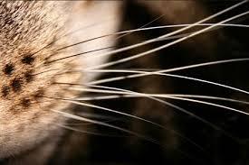 caratteristiche fisiche dei gatti: le vibrisse
