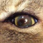 sequestro corneale nei gatti