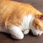 il diabete nei gatti