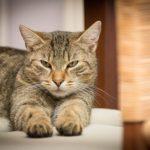 alimentazione casalinga del gatto