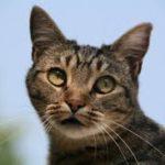 gastrite acuta nei gatti: cosa fare
