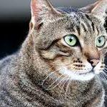 la gastrite nei gatti