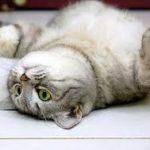 perché il gatto sta a pancia all'aria