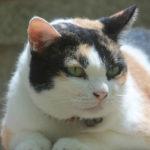 polifagia felina
