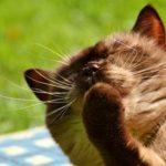 le pulci nel gatto