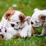 cuccioli di cane alla quarta settimana di vita