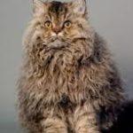 gatto con peli arricciati soo sulla pancia
