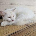 insufficienza epatica acuta nei gatti
