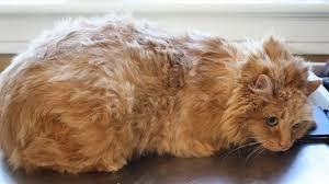 L'insufficienza epatica cronica  nei gatti