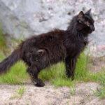 la FUS: sindrome urologica felina
