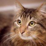 blocco urinario nei gatti maschi