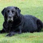 patologie del cane adulto