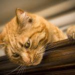 come curare le allergie dei gatti con oli essenziali