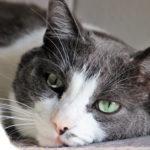 allerrgie alimentari nei gatti