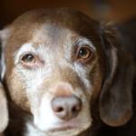 come convivere con un cane sordo
