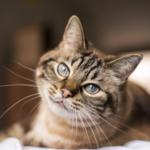 La calicivirosi felina