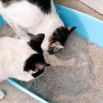 perchè il gatto mangia lettiera