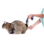 come si misura la febbre nel gatto