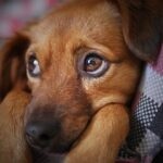 epatite virale nel cane