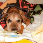 ipertrofia prostatica nei cani