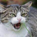 la rabbia bei gatti