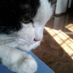 toxoplasmosi felina