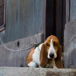 cane legato alla catena
