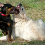 cosa succede se il mio cane viene morso da un altro cane