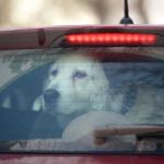 lasciare il cane in macchina